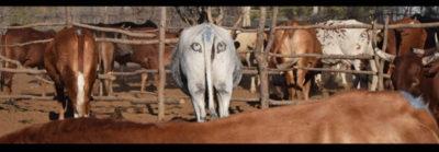Ojos-pintados-en-el-culo-de-las-vacas-para-evitar-ataques-de-leones